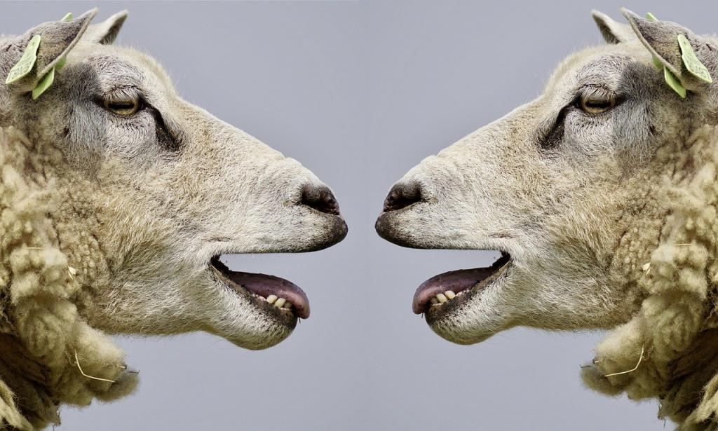 Dos ovejas mirándose con la boca abierta, representando la comunicación.
